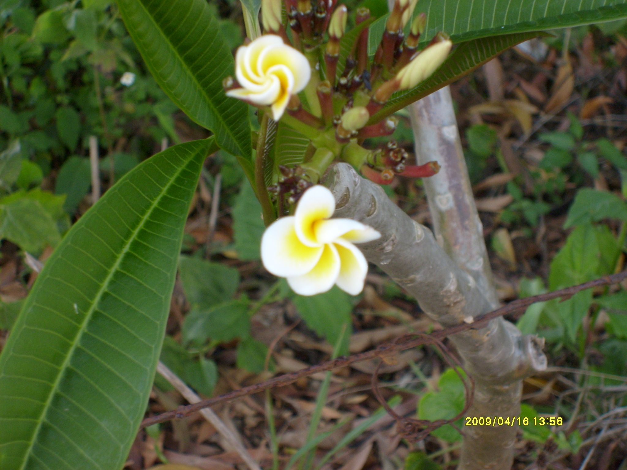 The Frangi-Pani is the national flower.