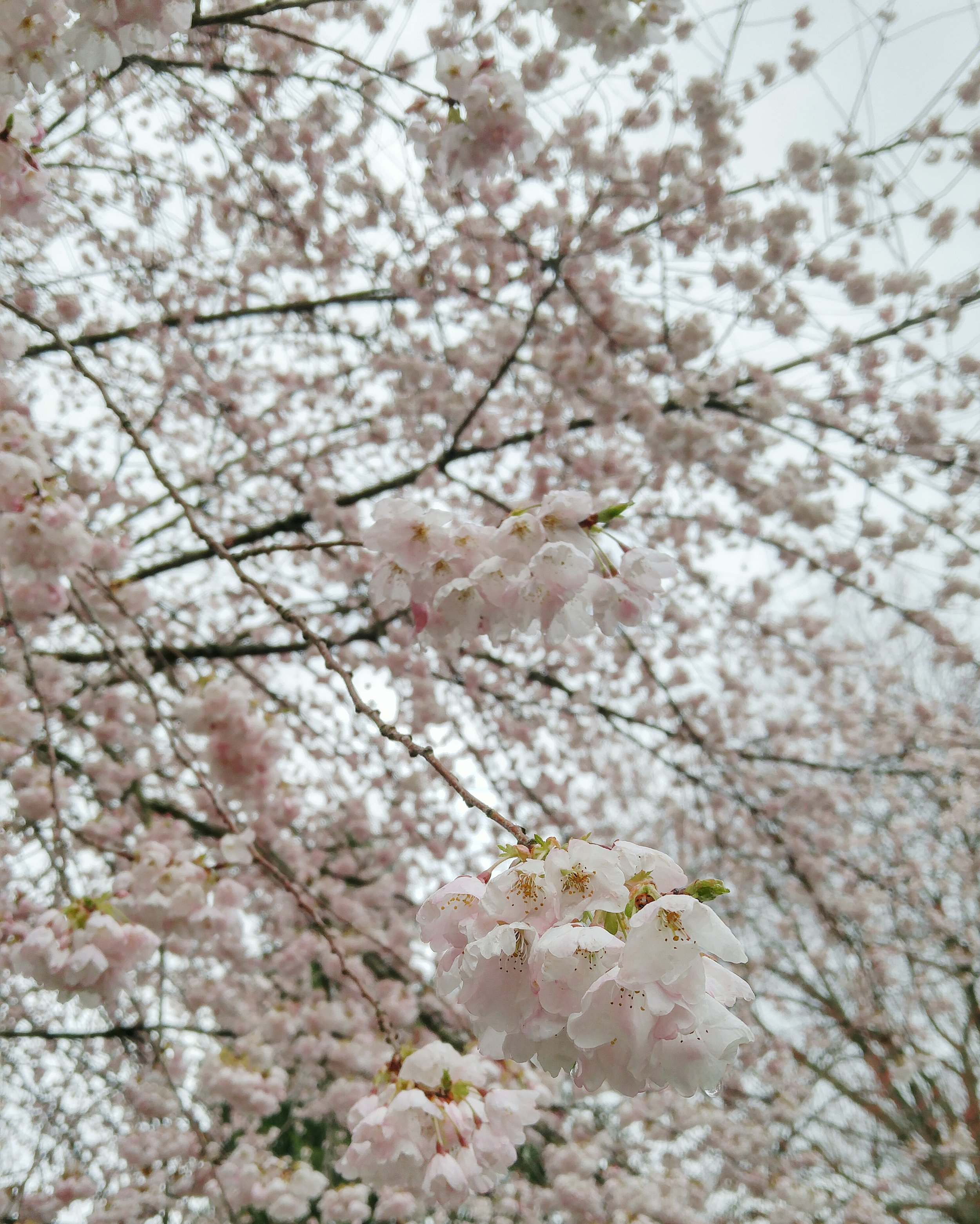 The campus at Trinity Western is COVERED in cherry blossom trees. When they began to bud and bloom in late March, spring could not be contained.