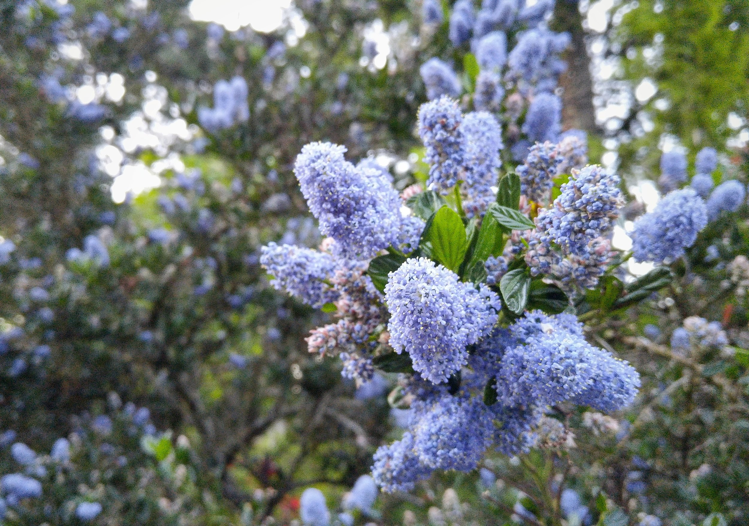 California lilacs- one of my favourite sights to see in Brentwood Bay.
