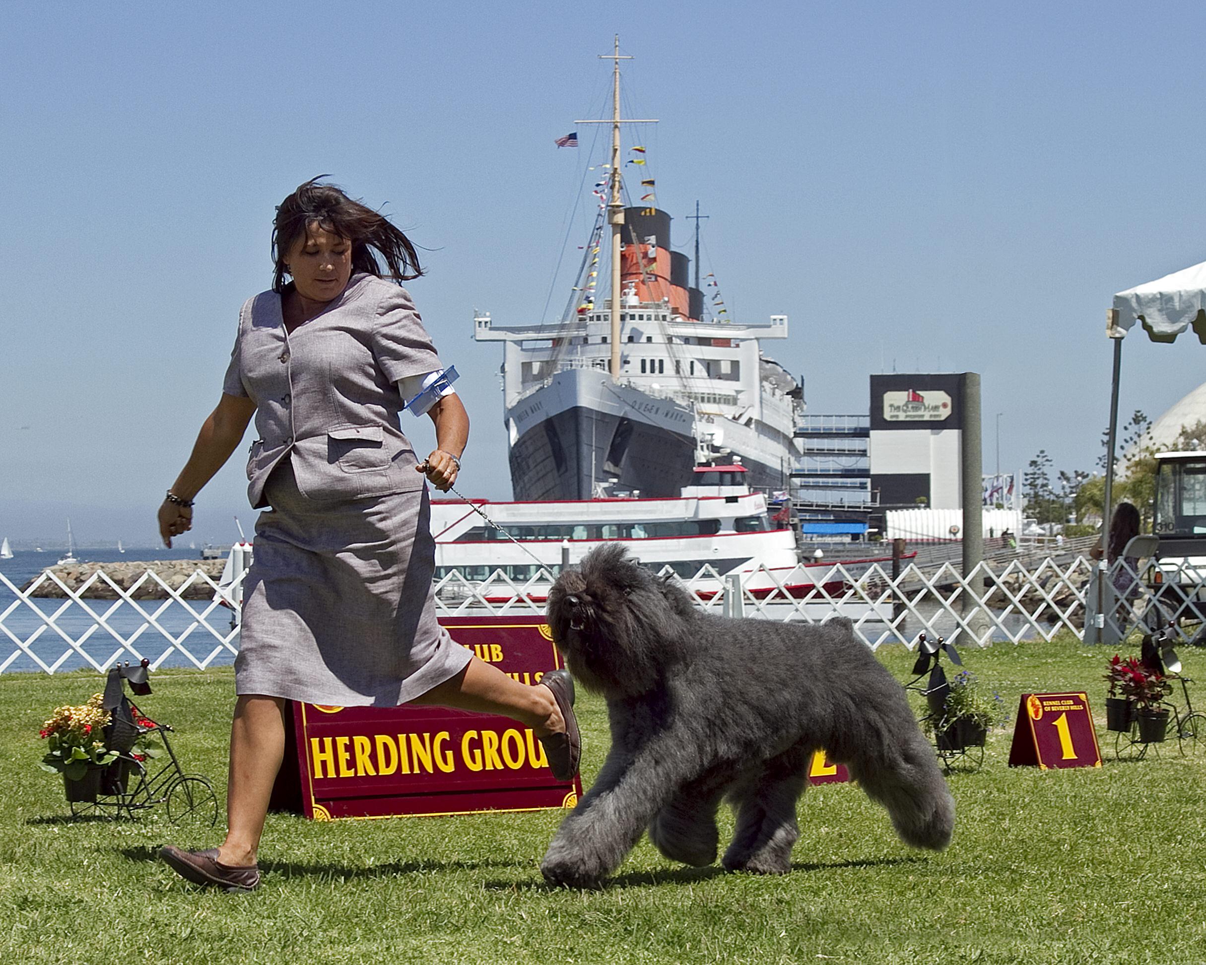 Beauvier Briard Herding Ring Beverly Hills Kennel Club.jpg