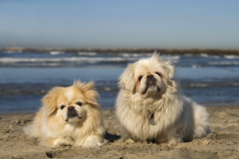 Pekes on the Beach