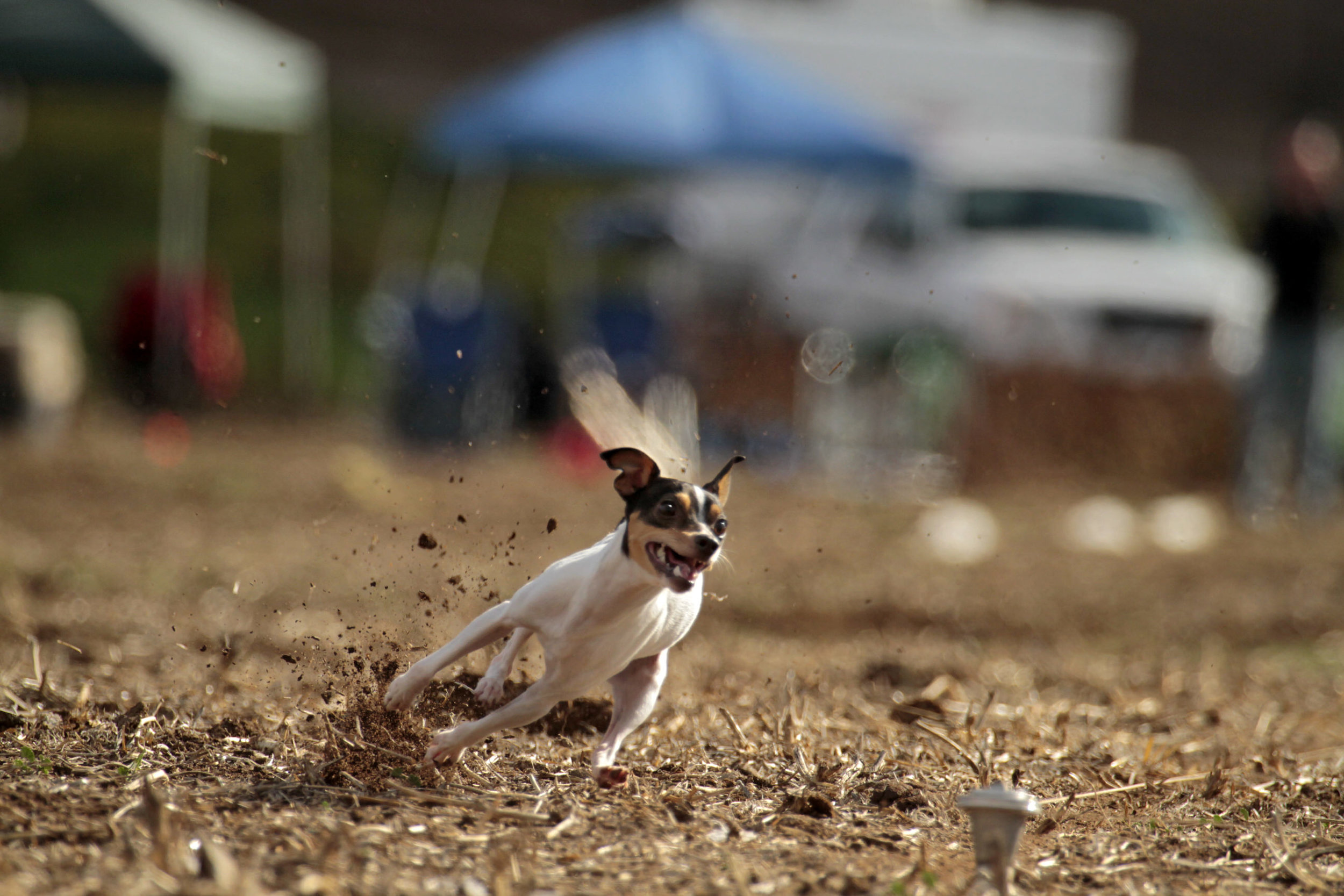 Lure Coursing Competition