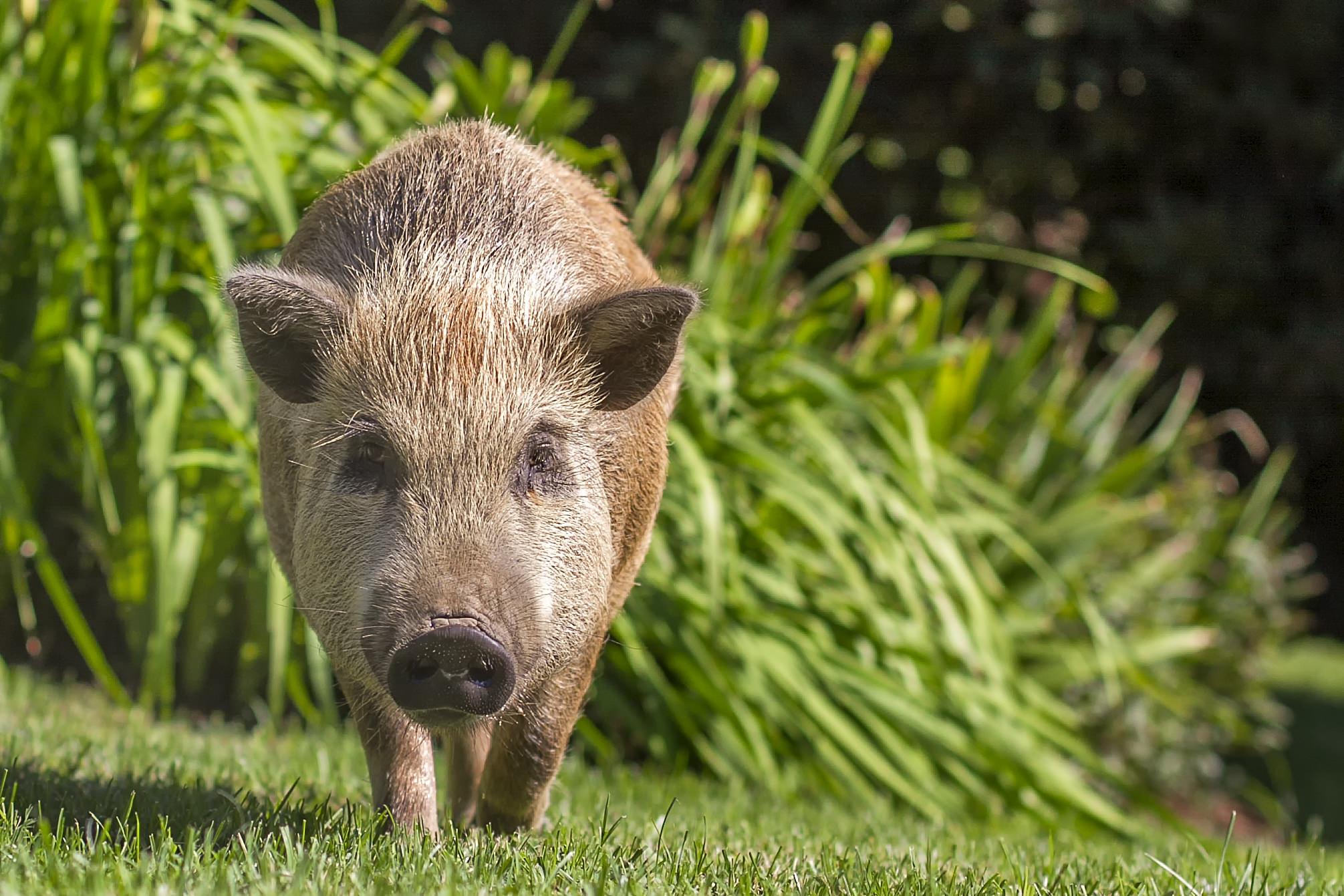 Julianna Pig