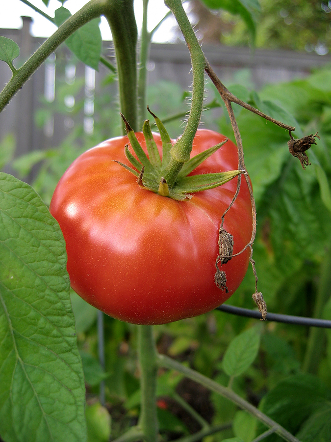 Tomato (heirloom) 'Beefsteak'