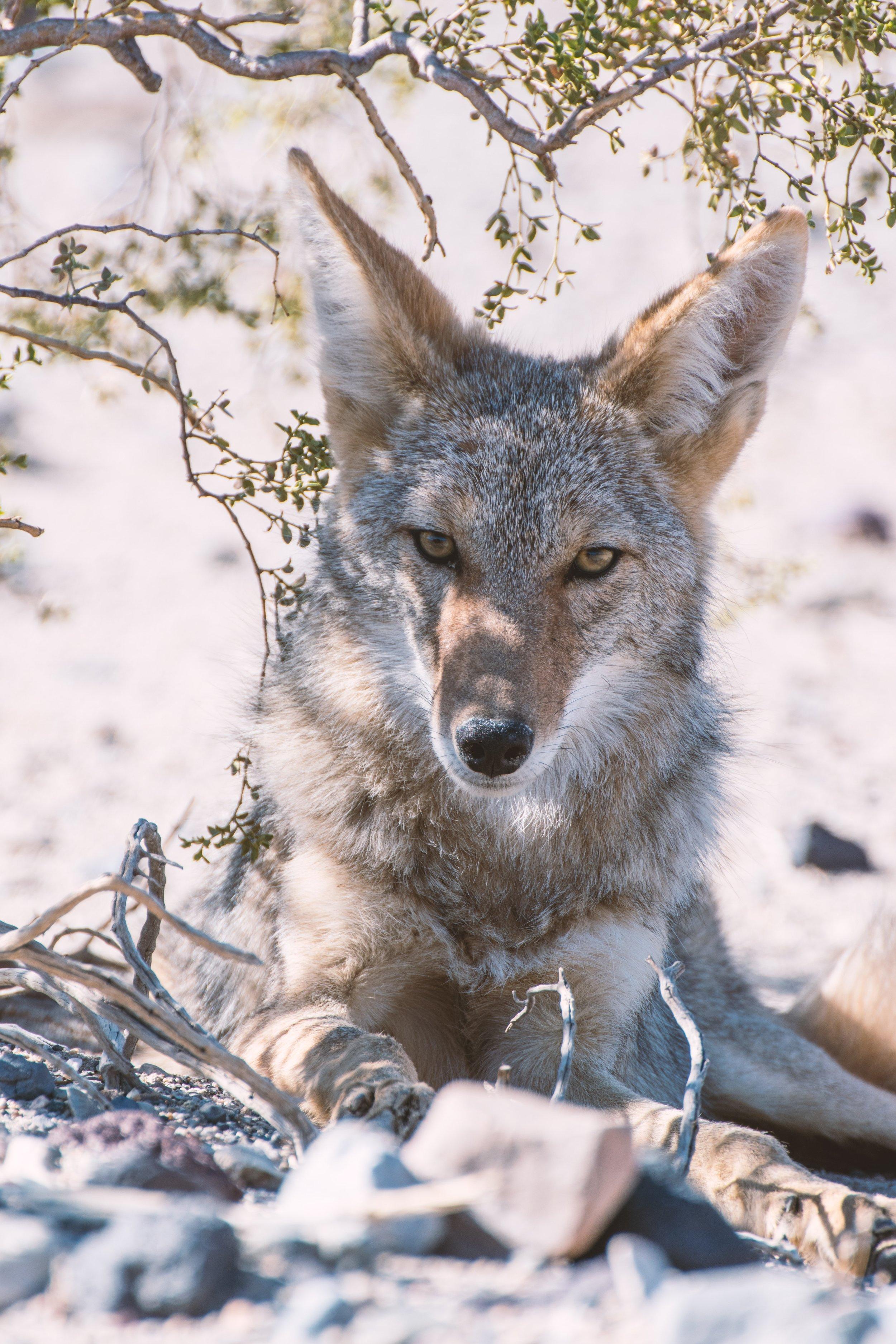 Coyote photo by Joshua Wilking via Unsplash