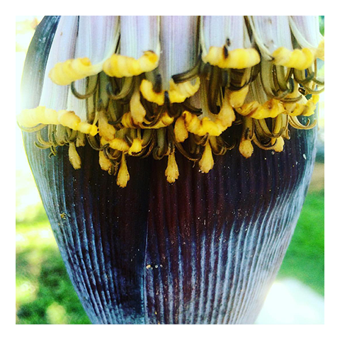 Banana_Flower-Bananas-Rincon-Puerto-Rico-Garden-smoothies-juices-healthy-fresh-coffee-Vegan-Vegetarian-Paleo-Gluten_free-Dairy_free-organic-carta_buena-About_Us.png