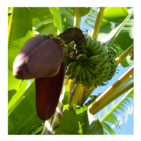 Bananas-Rincon-Puerto-Rico-Garden-smoothies-juices-healthy-fresh-coffee-Vegan-Vegetarian-Paleo-Gluten_free-Dairy_free-organic-carta_buena-About_Us.png