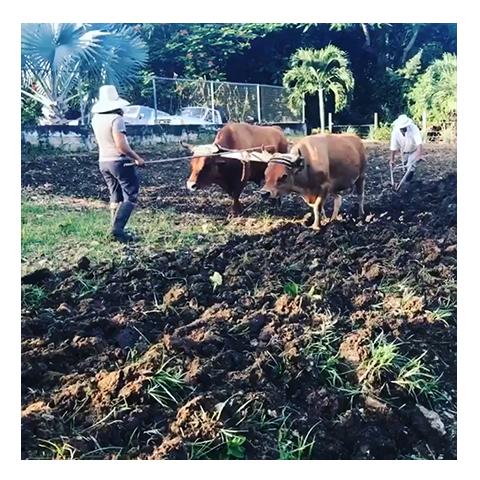 oxen.png