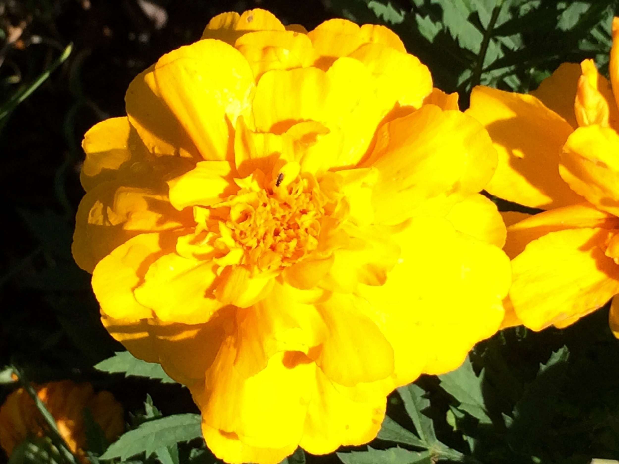 Marigolds are an easy to grow annual.