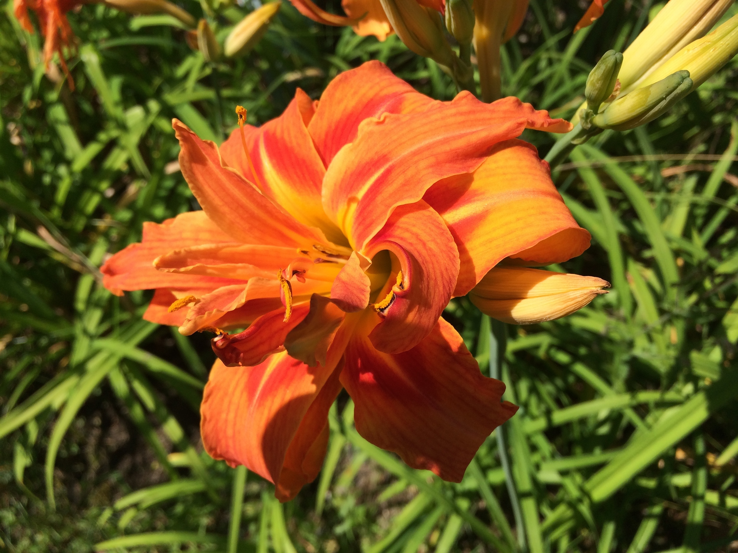 A double orange daylily! I adore the fullness of this bloom.