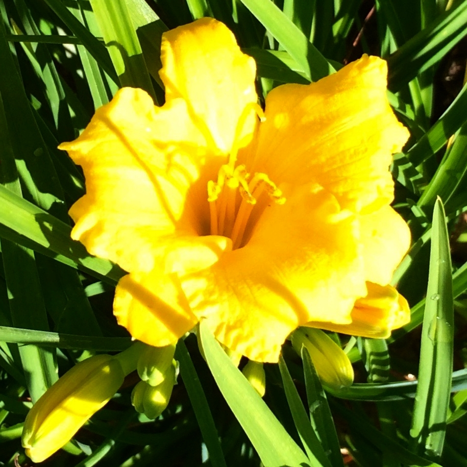 Lemon lily—a perfect shade of yellow!