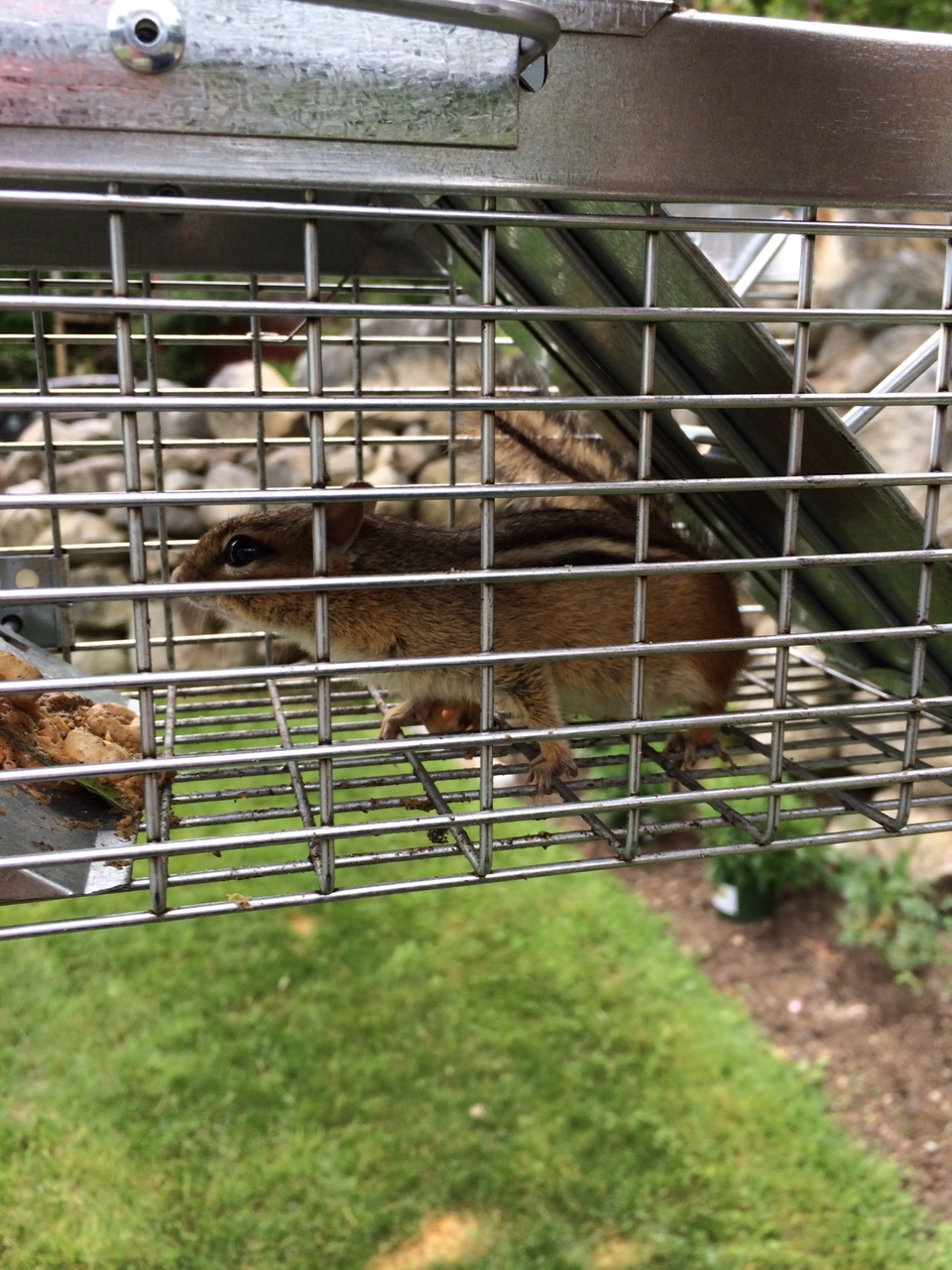 Chipmunk being transported unharmed in the cage.