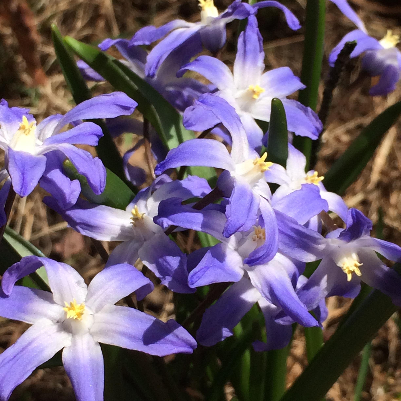Lovely blue  Chionodoxa  in my lawn