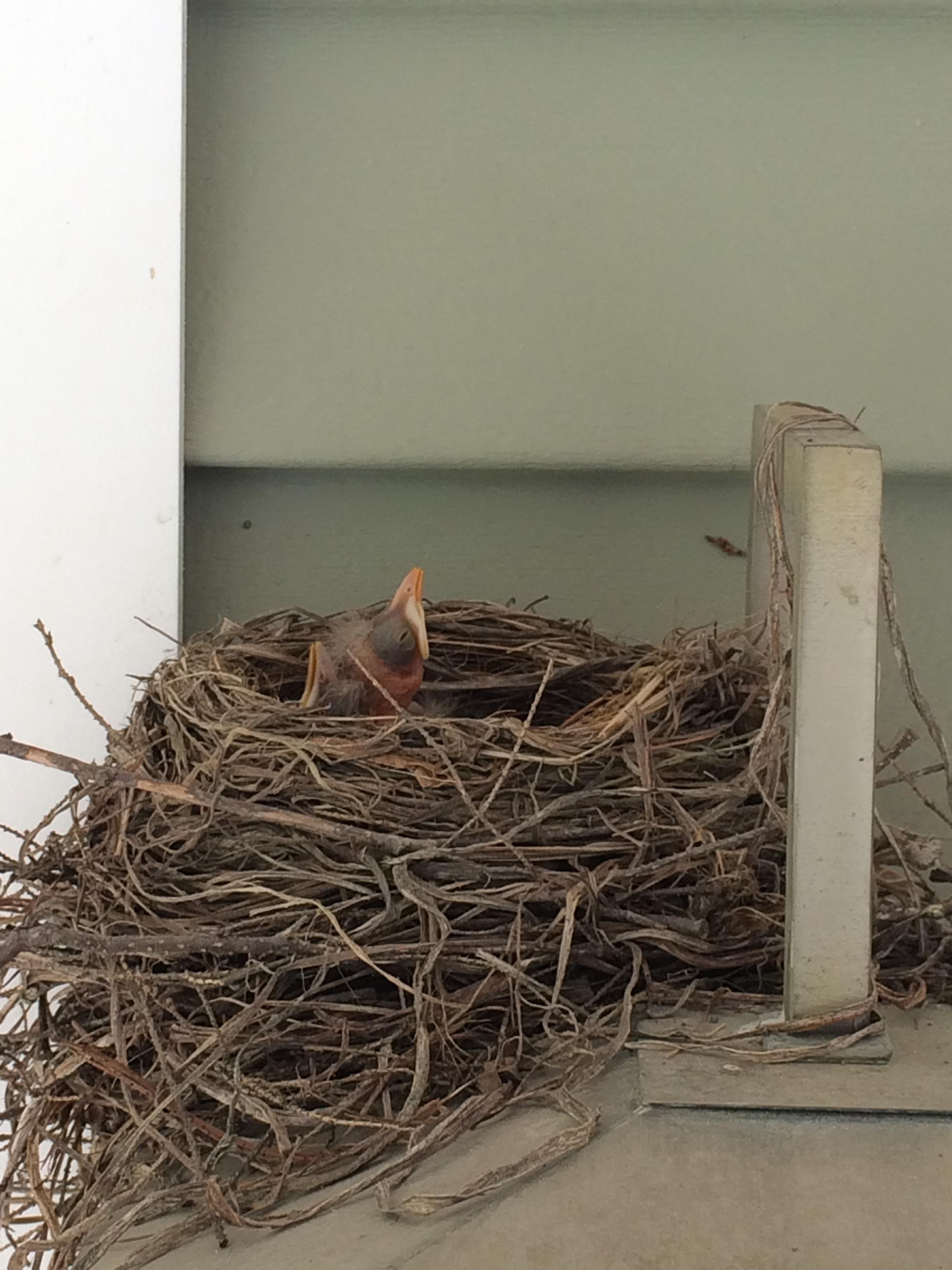 Seemingly always hungry nestlings!