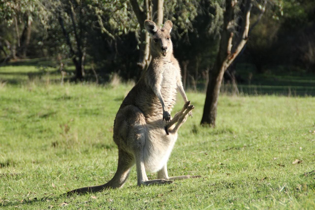 tom groggin campground kangaroo joey
