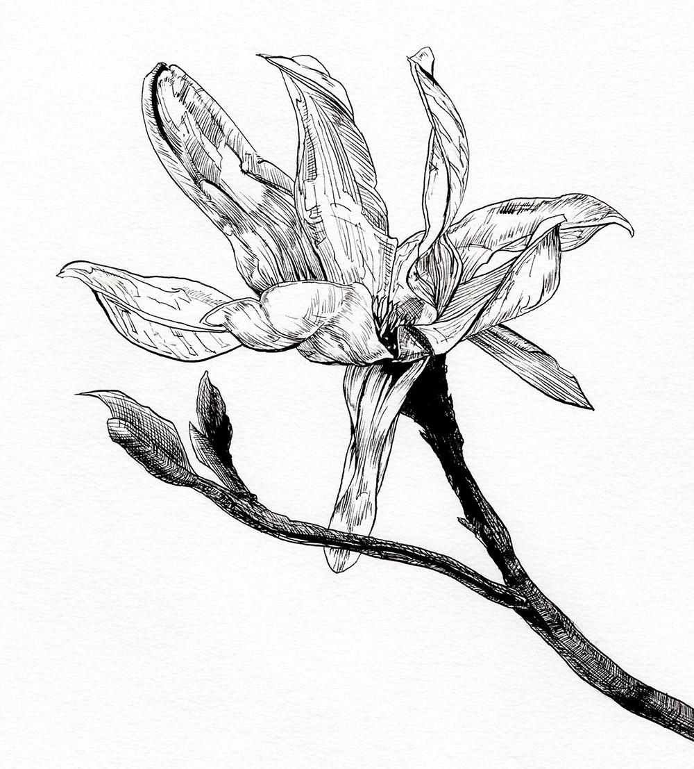 magnolia-liliiflora-isc.jpg