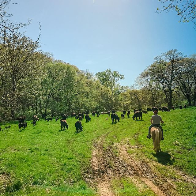 Spring means moving out to the bigger, greener pastures! These are some very happy mamas and babies ☀️🌿 #heademupmoveemout #springpastures #wagyucattle #movealong #happycows #pastureraised #pastureraisedbeef #healthybeef
