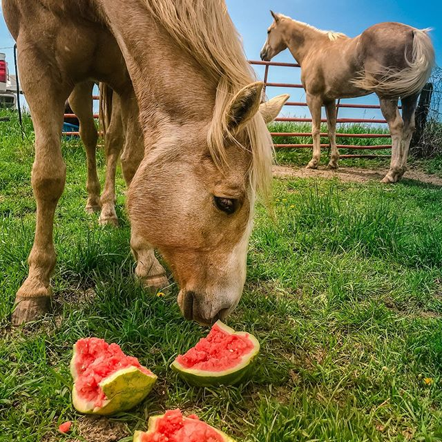 Summertime feels means summer style treats for the herd 🐴☀️🍉 . . . #palomino #palominoherd #summerfeels #horses #watermelon #treats