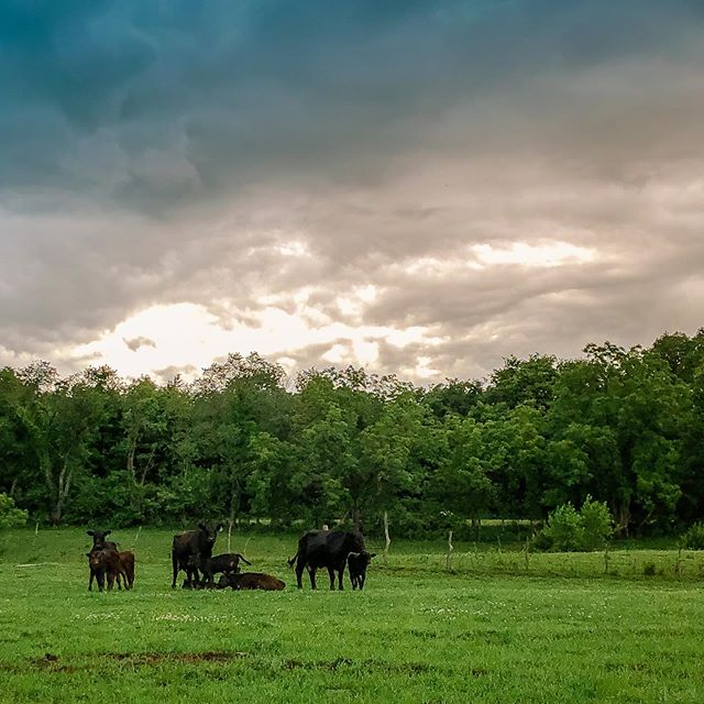 Stormy night fact: Mamas will gather their babies up and head to the deepest part of the timber together to ride out a storm. #safeandsound  #ridersofthestorm #goodmamas #mamasandtheirbabies #cattlethings #stormynight