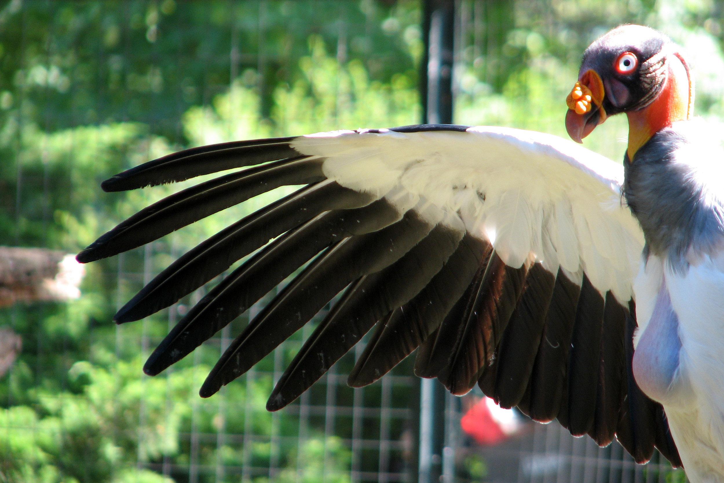 King Vulture. Image by  s shepherd via Wikimedia Commons