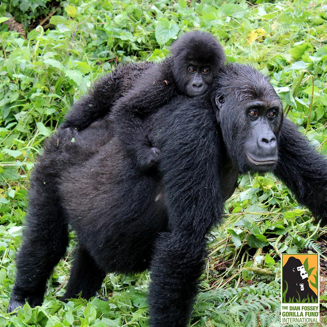 Image courtesy of the Dian Fossey Gorilla Fund International
