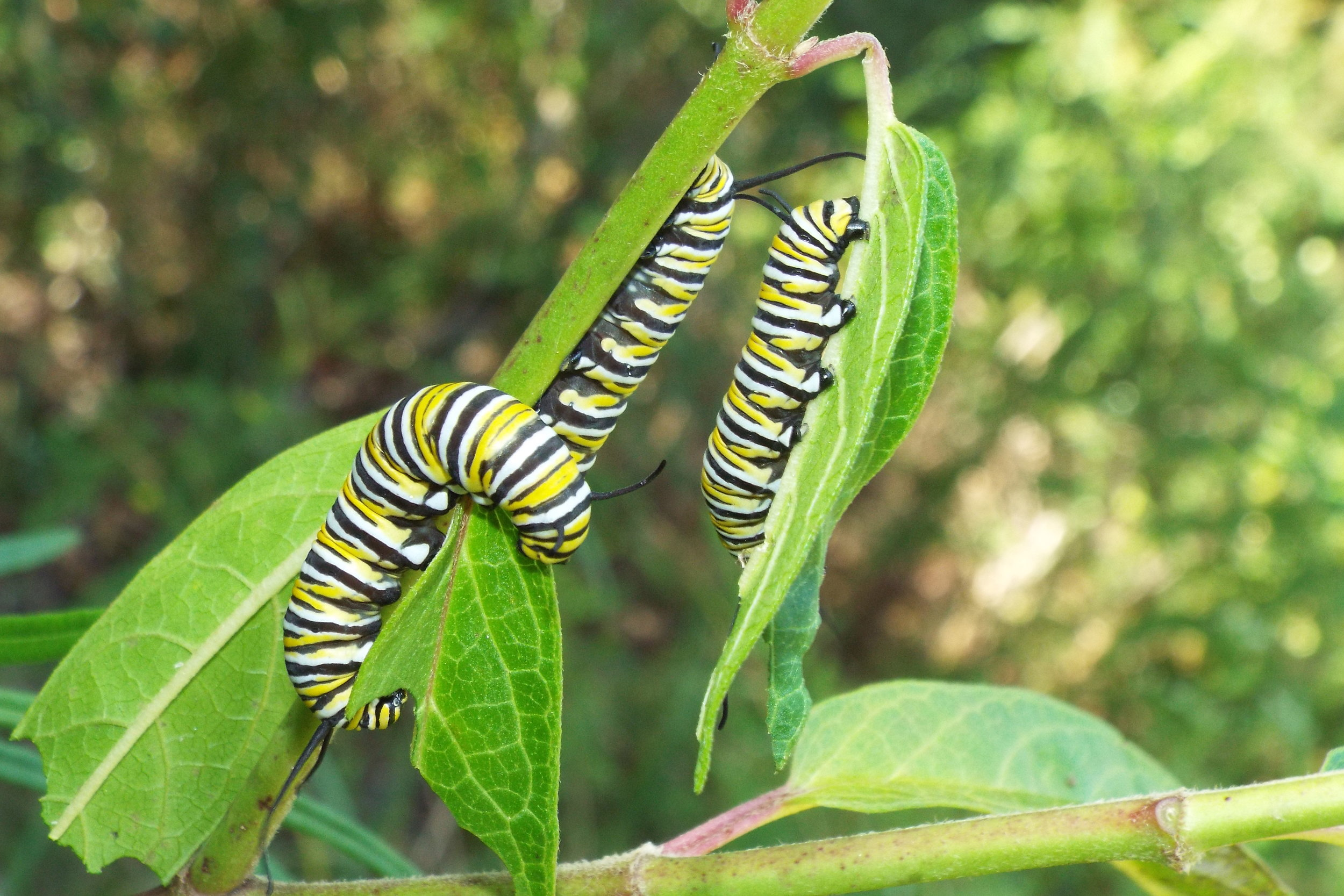 Monarch Caterpillars. Image courtesy of Scott Davis