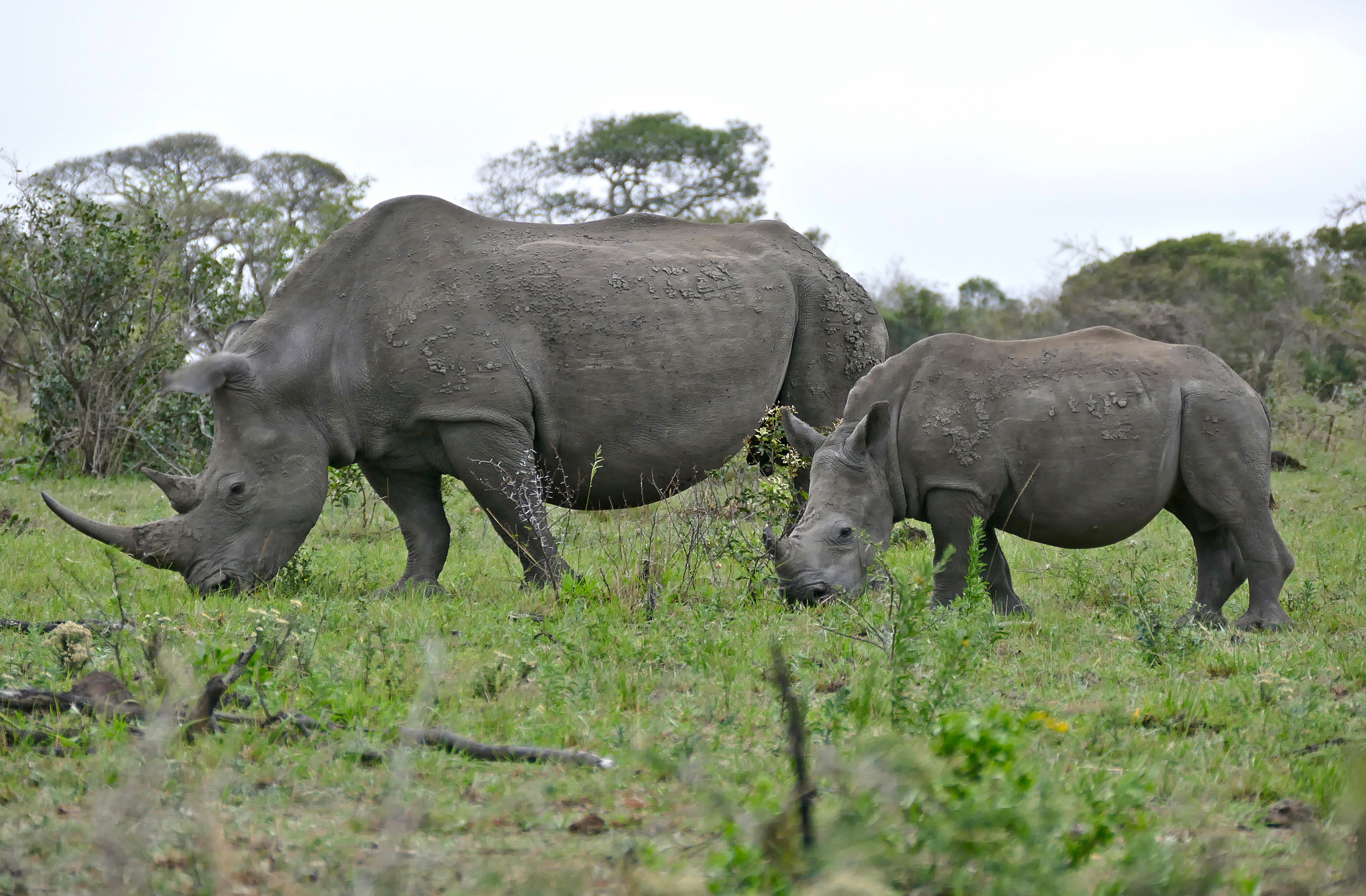 White Rhino female and young in Kwazulu-Natal, South Africa. Image by    Bernard DUPONT via Flickr