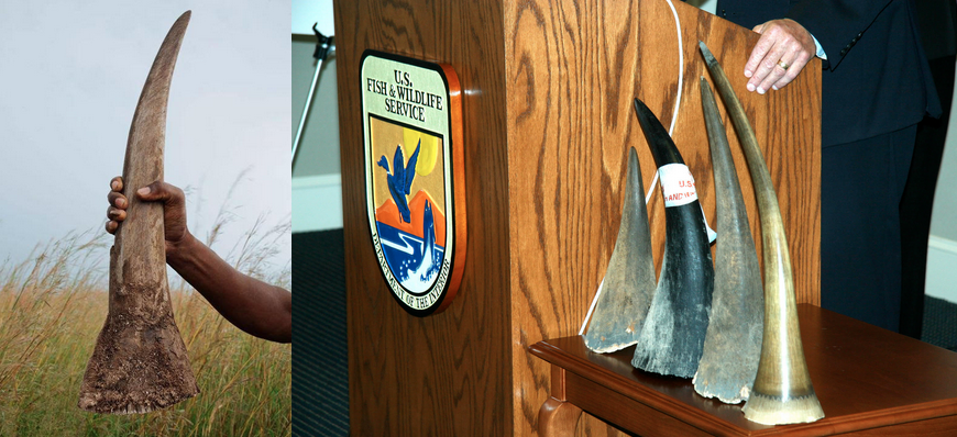 Left: an 8-pound rhino horn, image by  itst via Flickr .  Right: horns confiscated by the U.S. Fish and Wildlife Service, image by  U.S. Fish and Wildlife Service Southeast  via Flickr