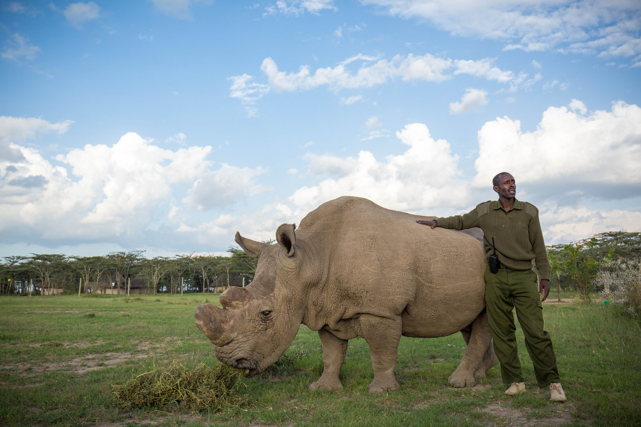 A rhino handler stands with the world's last remaining male northern white rhino in Kenya. Image by  Make it Kenya via Flickr