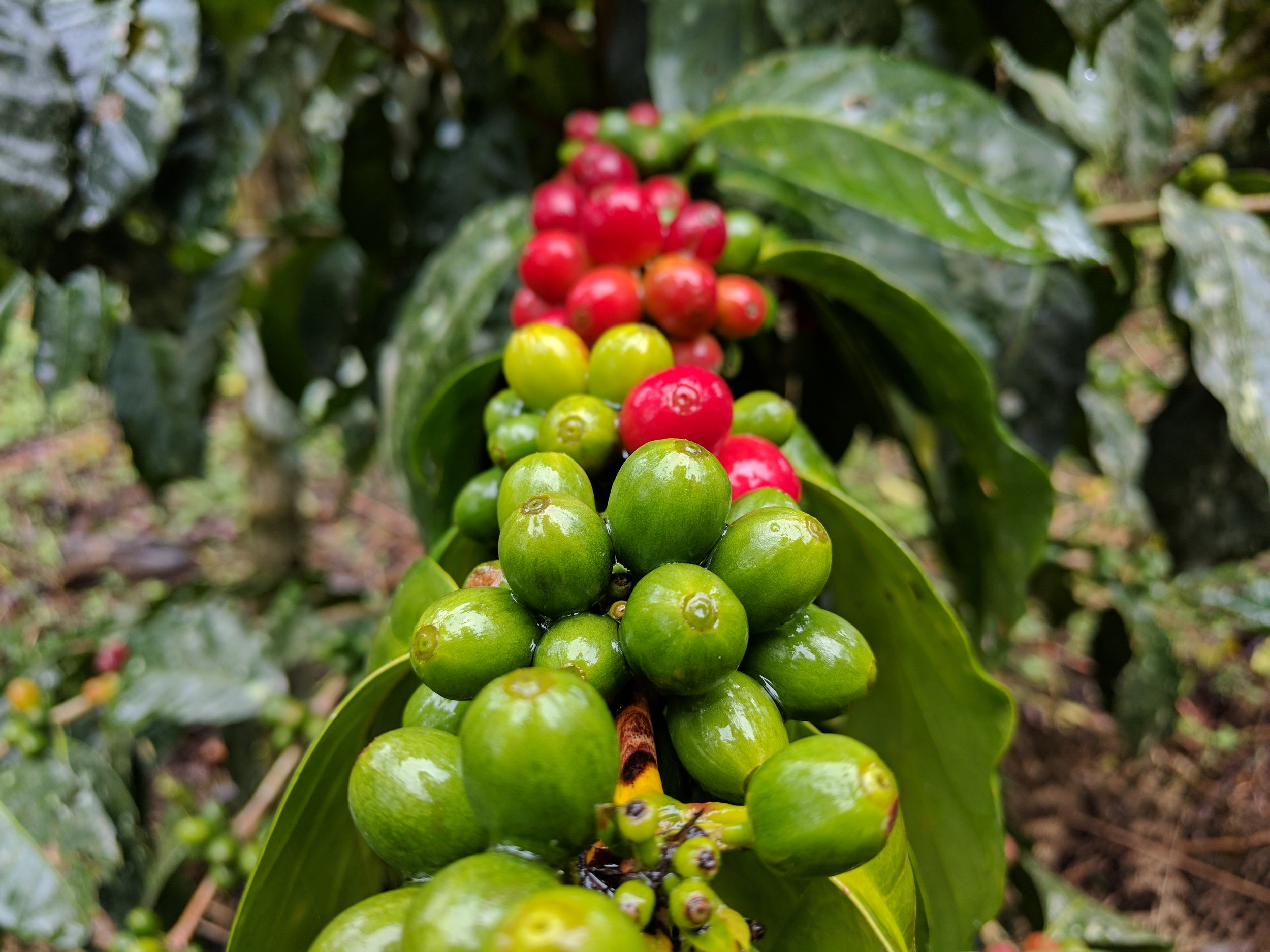 Ripening coffee fruit in Peru. Image courtesy of Farmers First Coffee