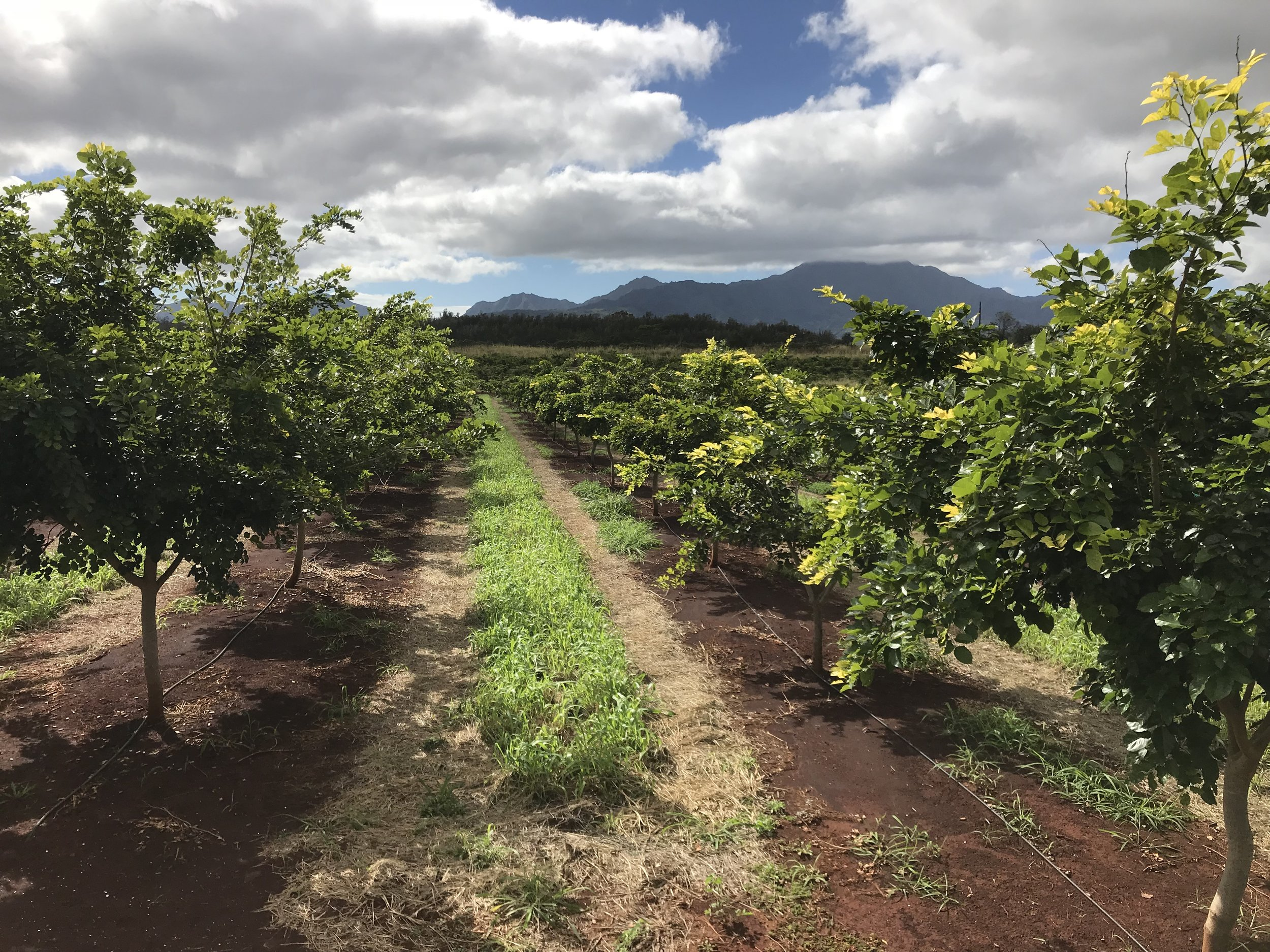 A pongamia orchard. Image courtesy of TerViva
