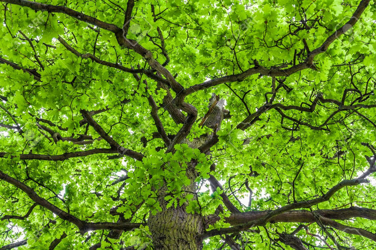 20286965-Looking-up-an-oak-tree-crown-with-spring-green-foliage-Stock-Photo.jpg