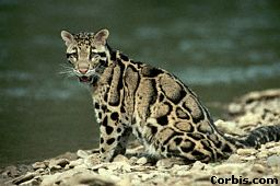 A clouded leopard by a river