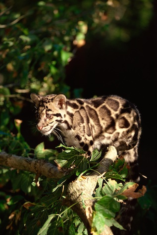 Clouded leopards live in thick forests