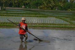 A rice farmer prepares for planting. photo©kidcyber