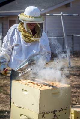 An apiarist smoking the bees before opening the hive. ©Getty Images