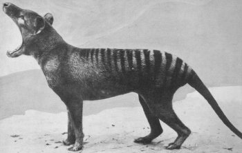 Thylacine, Australia's wild marsupial dog, is presumed extinct. ©Getty Images