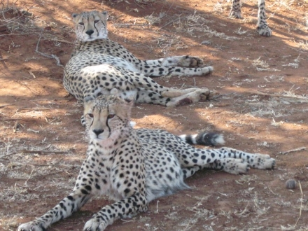 Resting cheetahs in a nature reserve ©kidcyber
