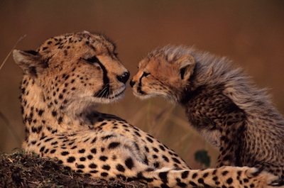 A cheetah mother and cub ©Getty Images