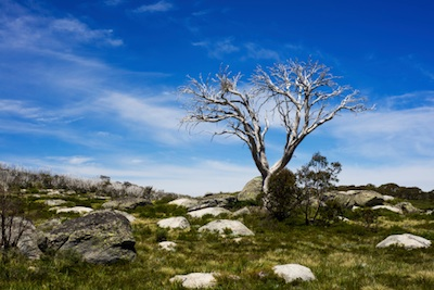 Snow gum in summer landscape ©Getty Images