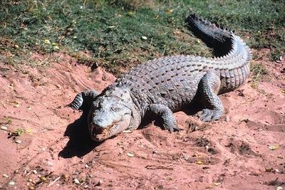 Nile crocodile ©Getty Images
