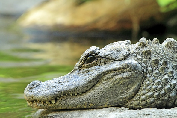 Chinese alligator ©Getty Images