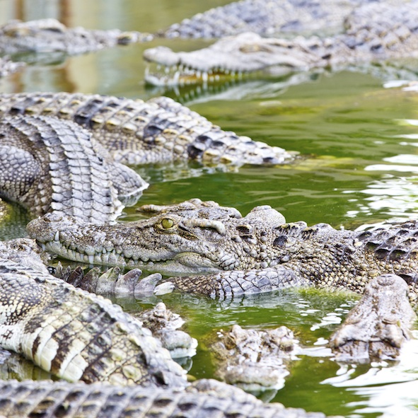 There are many crocodiles in the sea and rivers in the area. There is a crocodile farm in Darwin. ©iStock