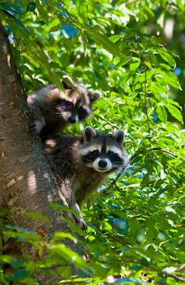 A pair of raccoons in a North American deciduous forest ©Getty Images