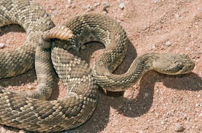 A mojave desert rattlesnake ©Getty Images