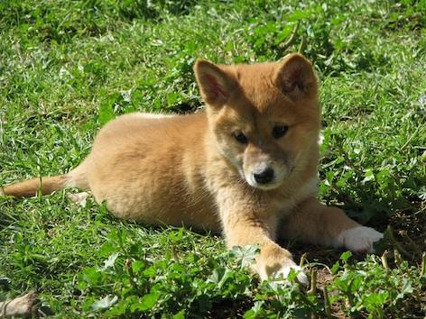 A dingo pup ©Getty Images