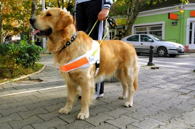 A guide dog wears a special harness when it is working ©Getty Images