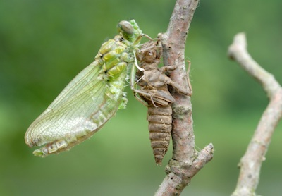 Adult dragonfly emerging from the final moult. ©Getty Images