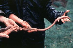 A giant Gippsland earthworm