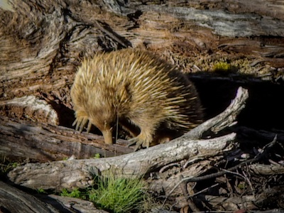 An echidna searching for ants in a log. ©Getty Images